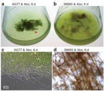 利用藻类和真菌创造新的生物燃料系统